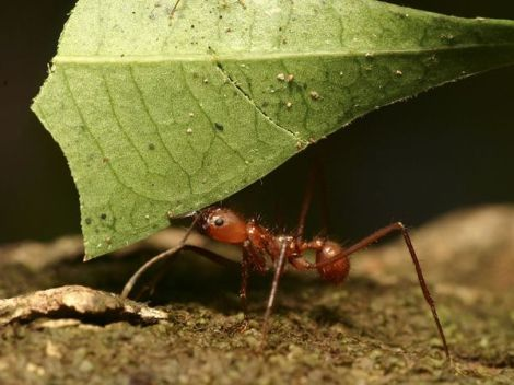 leaf-cutter-ant_604_600x450